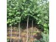 Platanus Acerifolia (Platan)