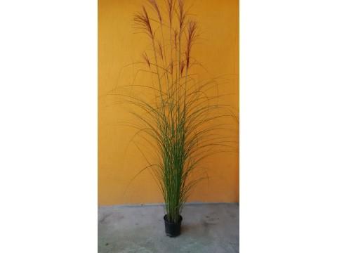 Iarba de pampas - Cortaderia selloana